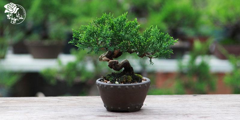 درخت فیکوس بونسای یکی از محبوب ترین گیاهان آپارتمانی