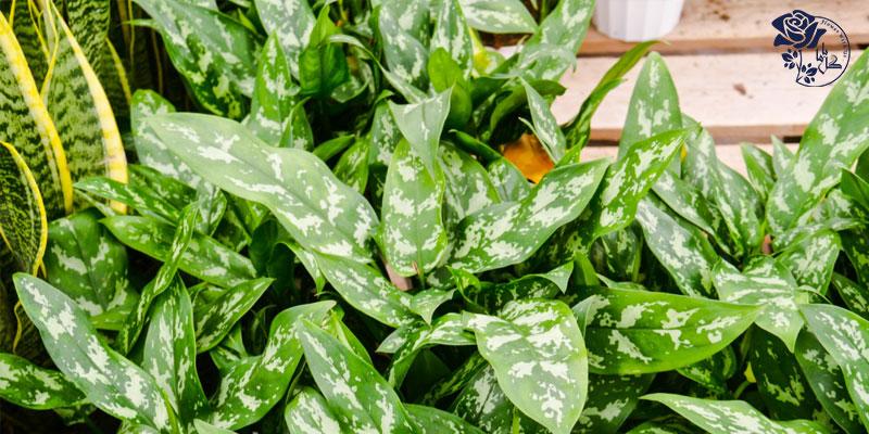 گیاه آگلونما یکی از محبوب ترین گیاهان آپارتمانی