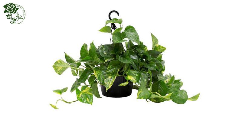 گیاه پتوس یکی از محبوب ترین گیاهان آپارتمانی