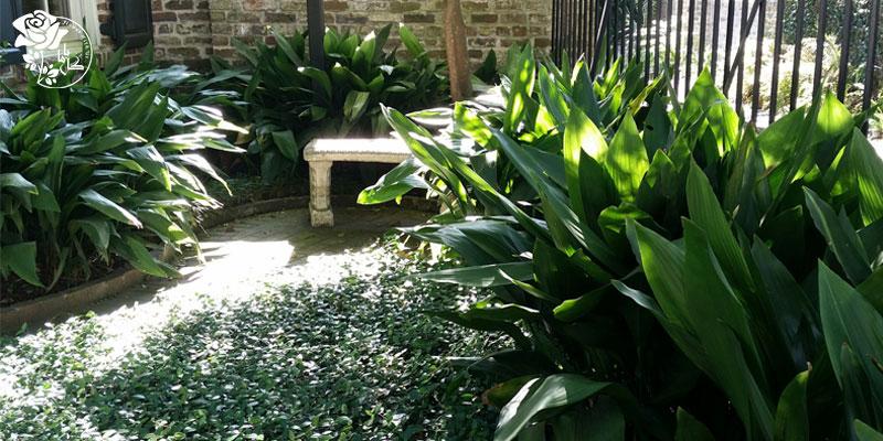 گیاه برگ عبایی یکی از محبوب ترین گیاهان آپارتمانی