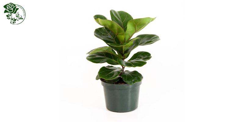 گیاه فیکوس لیراتا یکی از محبوب ترین گیاهان آپارتمانی