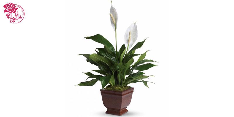 گیاه اسپاتی فیلوم یکی از محبوب ترین گیاهان آپارتمانی