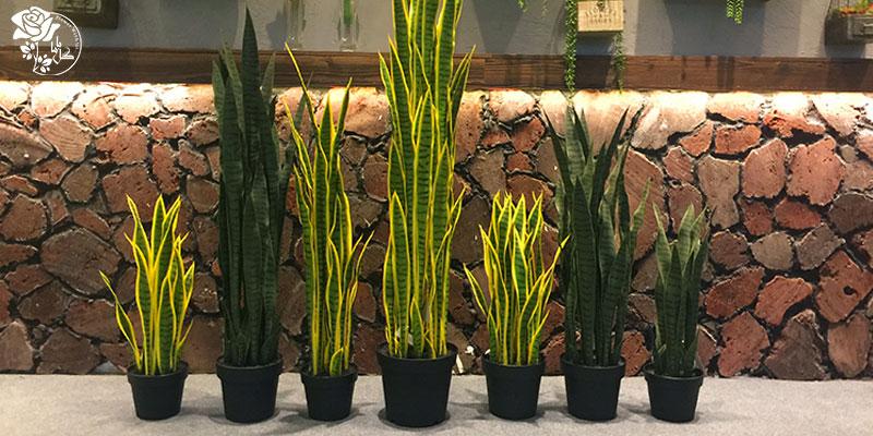 گیاه مار یکی از محبوب ترین گیاهان آپارتمانی