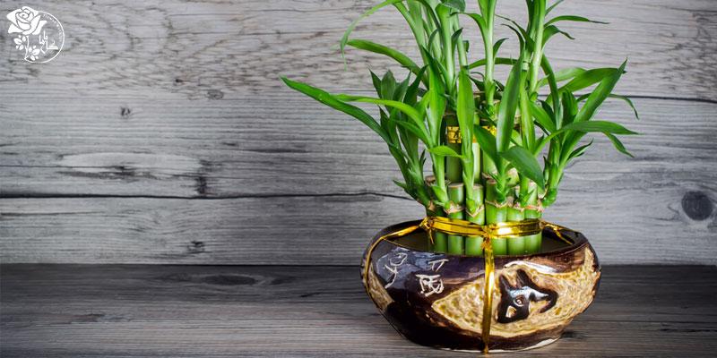 گیاه بامبوی خوش قدم یکی از محبوب ترین گیاهان آپارتمانی