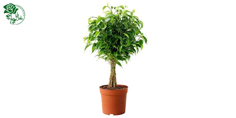 گیاه انجیر برگریز یکی از محبوب ترین گیاهان آپارتمانی