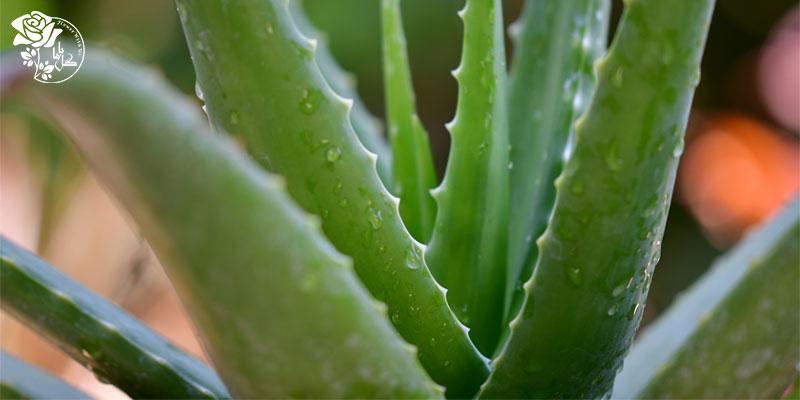 گیاه آلوئه ورا یکی از محبوب ترین گیاهان آپارتمانی