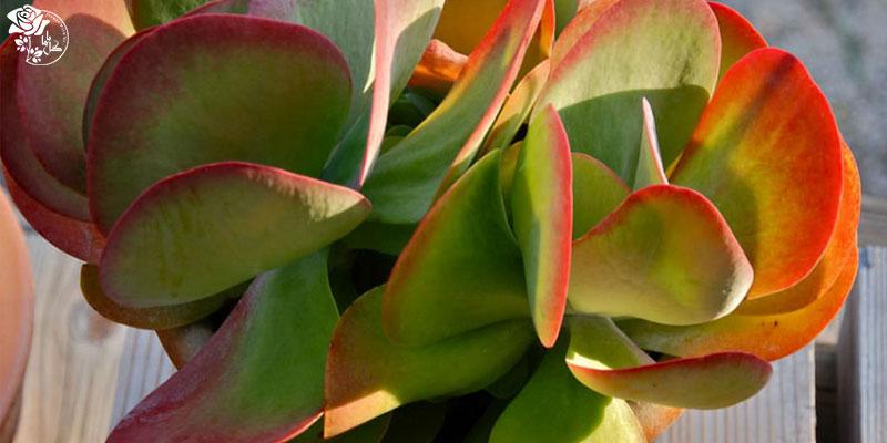 گیاه کالانکوئه تیرسیفلورا یکی از محبوب ترین گیاهان آپارتمانی