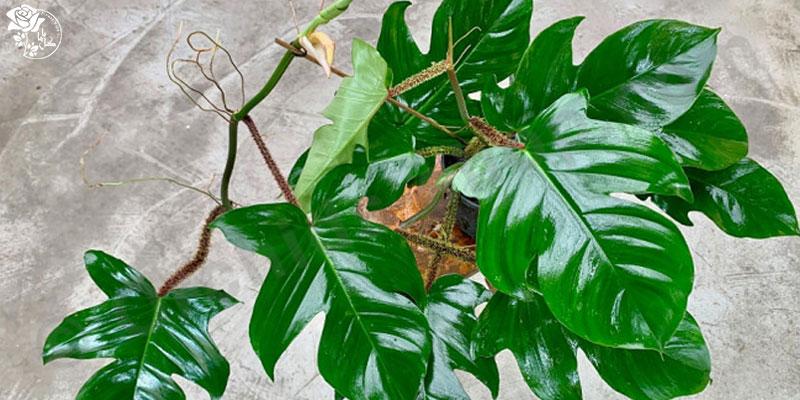 گیاه فیلودندرون یکی از محبوب ترین گیاهان آپارتمانی