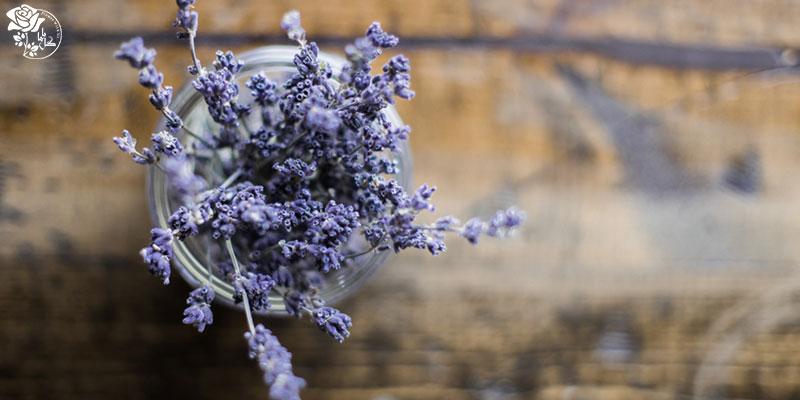 گیاه لاوندر یکی از محبوب ترین گیاهان آپارتمانی