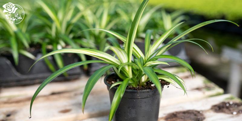 گیاه عنکبوتی یکی از محبوب ترین گیاهان آپارتمانی
