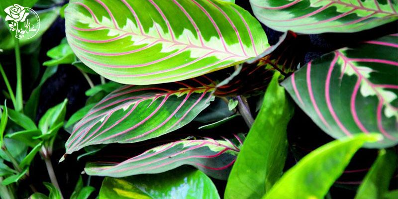 گیاه مارانتا لوکونورا یکی از محبوب ترین گیاهان آپارتمانی