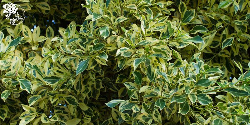 گیاه فیکوس بنجامین یکی از محبوب ترین گیاهان آپارتمانی