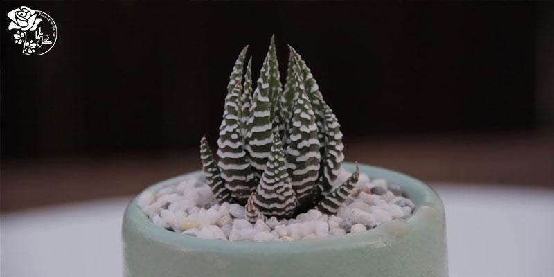 گیاه کالاتیا گورخری یکی از محبوب ترین گیاهان آپارتمانی