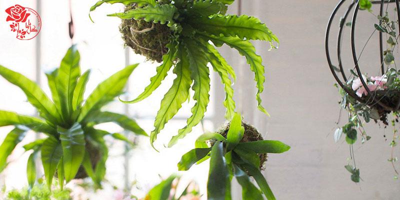 گیاه سرخس لانه پرنده یکی از محبوب ترین گیاهان آپارتمانی