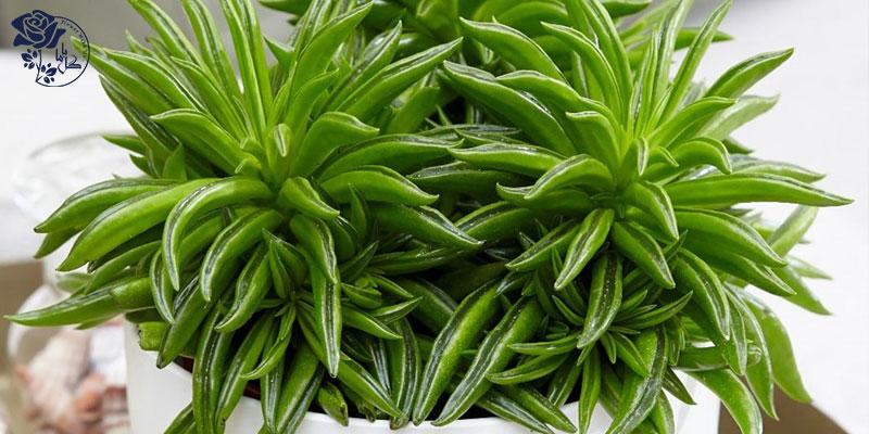 گیاه Happy bean یکی از محبوب ترین گیاهان آپارتمانی