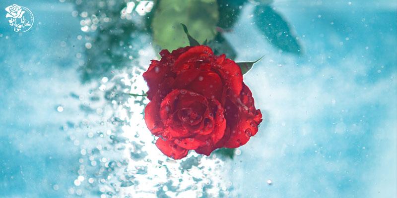بهترین گل های ولنتاین - گل رز