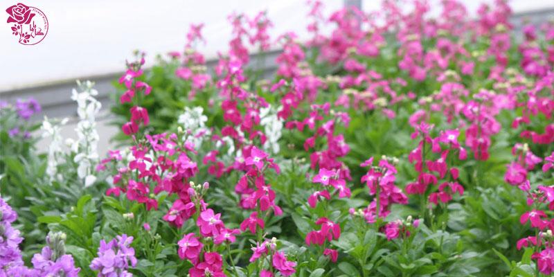 بهترین گل های ولنتاین - گل شب بو