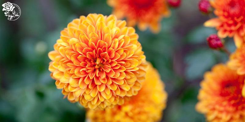 بهترین گلهای ولنتاین -گل داوودی