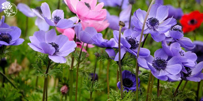 بهترین گل های ولنتاین -گل آنمون