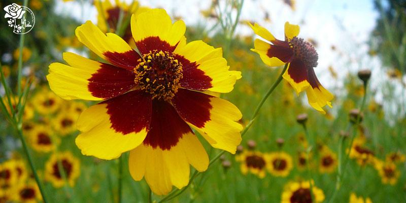 بهترین گل های ولنتاین -گل ستاره