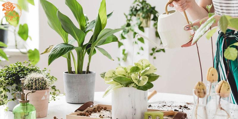 اصول نگهداری گل آپارتمانی - آبیاری به موقع