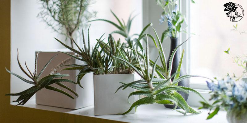 در نگهداری از گیاهان به نوری که دریافت می کنند دقت کنید.