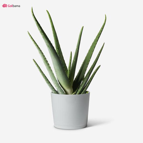 عضو مشهور گیاهان آپارتمانی سریع الرشد: 3. گیاه آلوئه ورا (Aloe Vera)