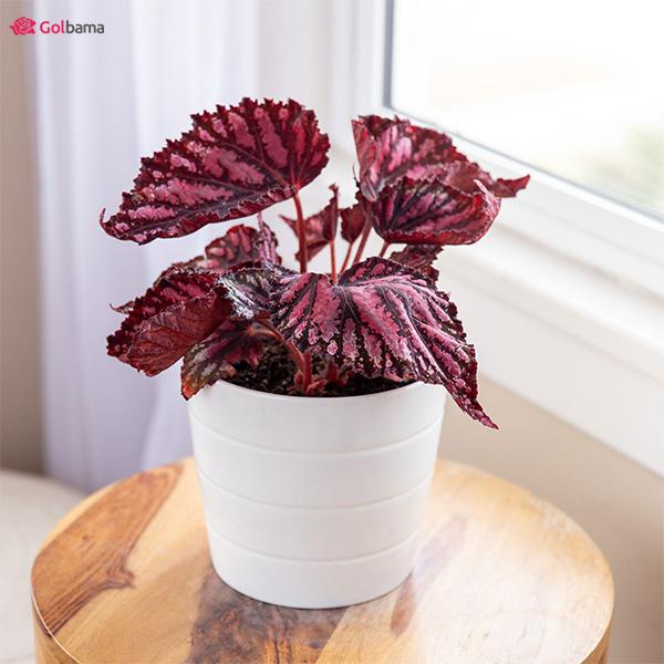گیاه بگونیا رکس (Begonia Rex) جزو رنگارنگ گیاهان آپارتمانی کم نور