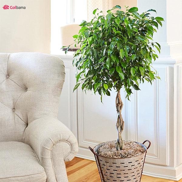 گیاهان آپارتمانی با رشد سریع و نژاد گرمسیری: 8. گیاه فیکوس (Ficus)