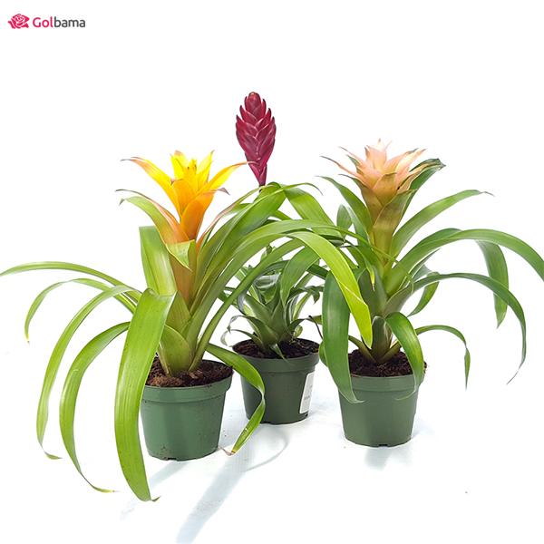 عجیبترین نوع گیاهان آپارتمانی کم نور: 6. گیاه آناناسی یا گازمانیا (Bromeliads)