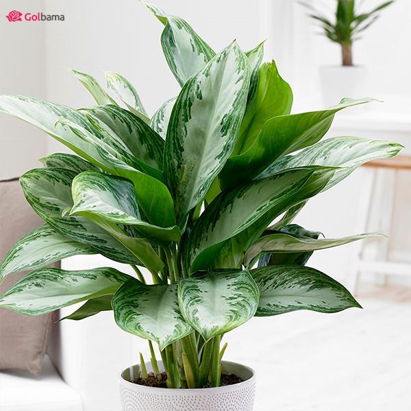 گیاهان آپارتمانیِ کم نور: 2. گیاه آگلونما (Chinese Evergreen)