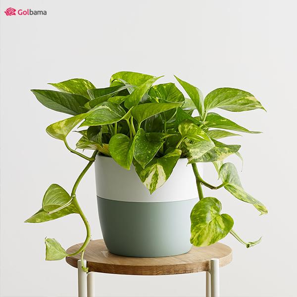 سازگارترین نوع گیاهان آپارتمانی کم نور: 1. گیاه پوتوس طلایی (Devil's Ivy)