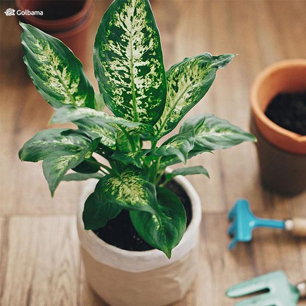 قدیمیترین نوع گیاهان آپارتمانی با رشد سریع: 5. گیاه دیفن باخیا (Dieffenbachia)