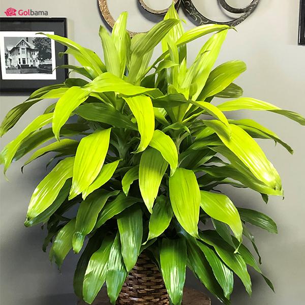 گیاه دراسنا (Dracanea Limelight)
