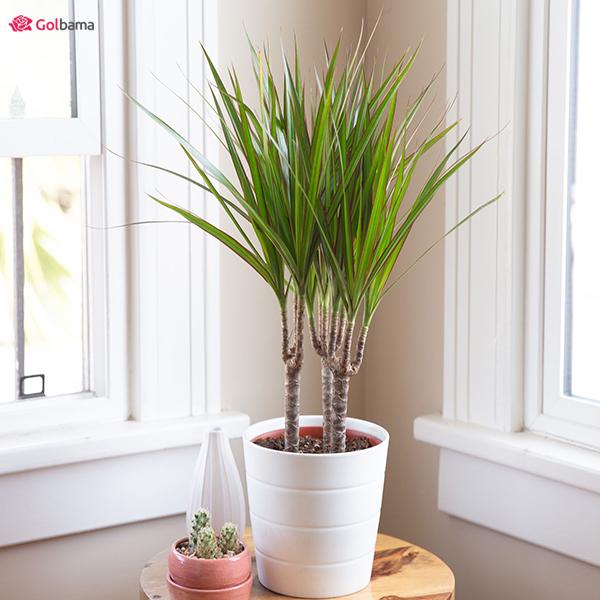 درختچهی با ابهت گیاهان آپارتمانی کم نور: 16. نخل دراسنا (Dragon Tree)