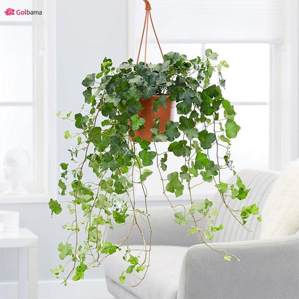 تصفیه هوا با گیاهان آپارتمانی سریع الرشد: 14. پیچک انگلیسی (English Ivy)