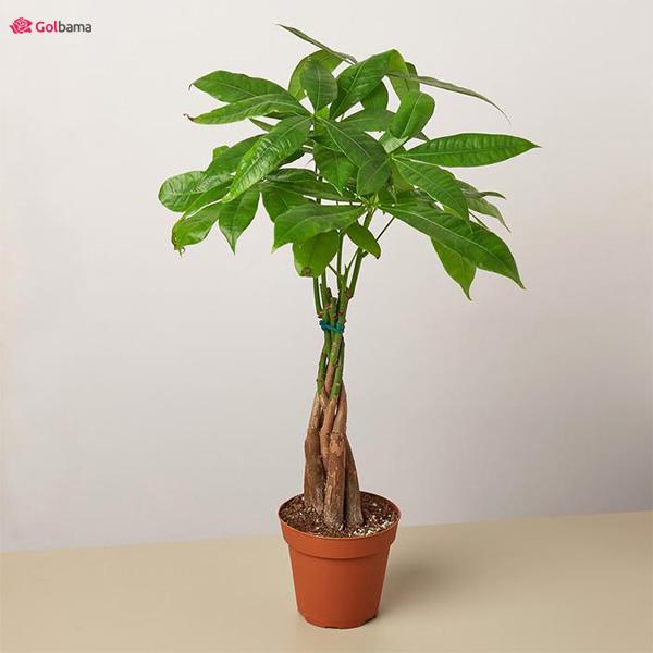 درختچههای آپارتمانی با رشد سریع: 16. شاه بلوط گویان (Guiana Chestnut)