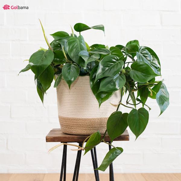 مهربانترین نوع گیاهانِ آپارتمانی کم نور: 5. فیلودندرون برگ قلبی (Heart-Leaf Philodendron)