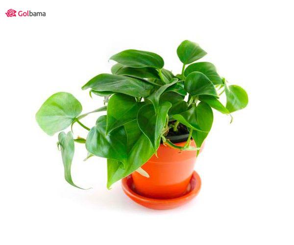 گیاه آپارتمانی زینتیِ برگ قلبی: 11. گیاه فیلودندرون (Hearleaf Philodendron)