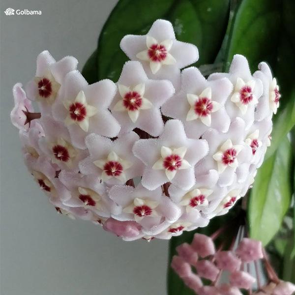 گیاه آپارتمانی با رشد سریع و عاشق نور: 15. هویا (Hoya)