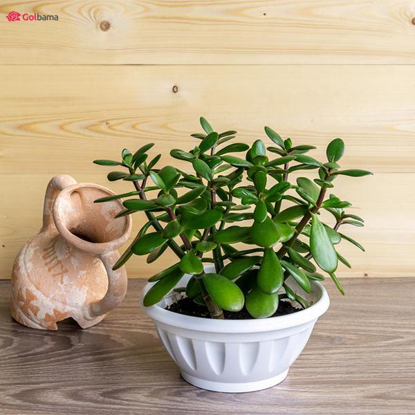 گیاهان آپارتمانی سریع الرشد: 4. ساکولنت گیاه یشم (Jade Plant)