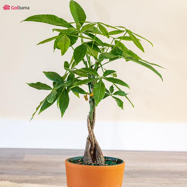 درخت پول یا گیاه پاچیرا (Money Tree) فریبندهترین نوع گیاهان آپارتمانی کم نور