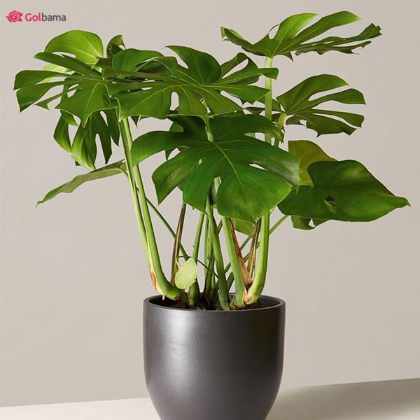 گیاه برگ انجیری (Monstera)