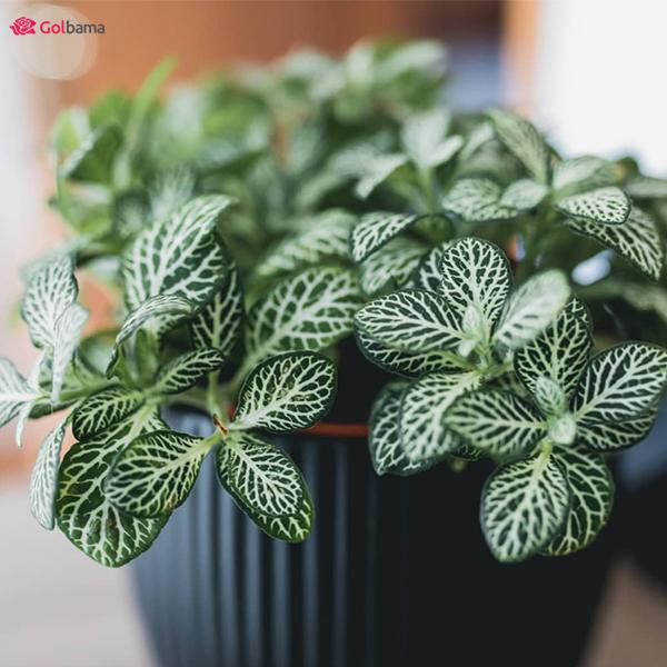 گیاه فیتونیا (Nerve Plant)