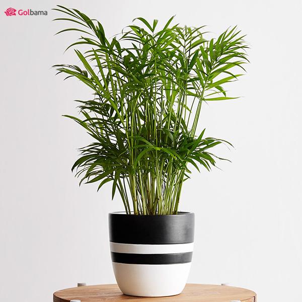 مقاومترین نوع گیاهان آپارتمانی کم نور: 20. نخل شامادورا (Parlor Palm)