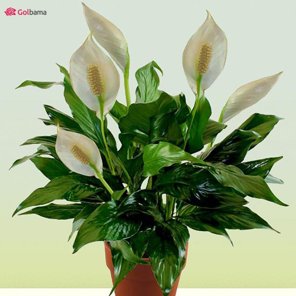 گیاهان آپارتمانیِ کم نور: 18. گیاه اسپاتی فیلوم (Peace Lily)