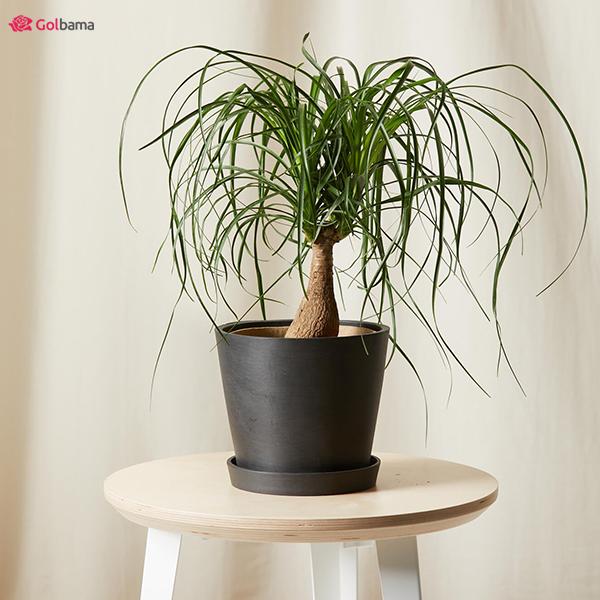 نخل لیندا (Ponytail Palm) زیبایی کم نظیر