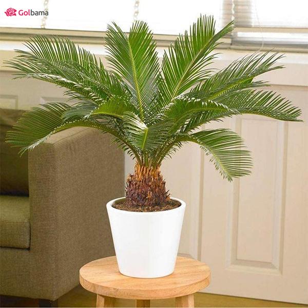 نخل زینتی گیاهان آپارتمانی کم نور: 3. سیکاس رولوتا (Sago Palm)