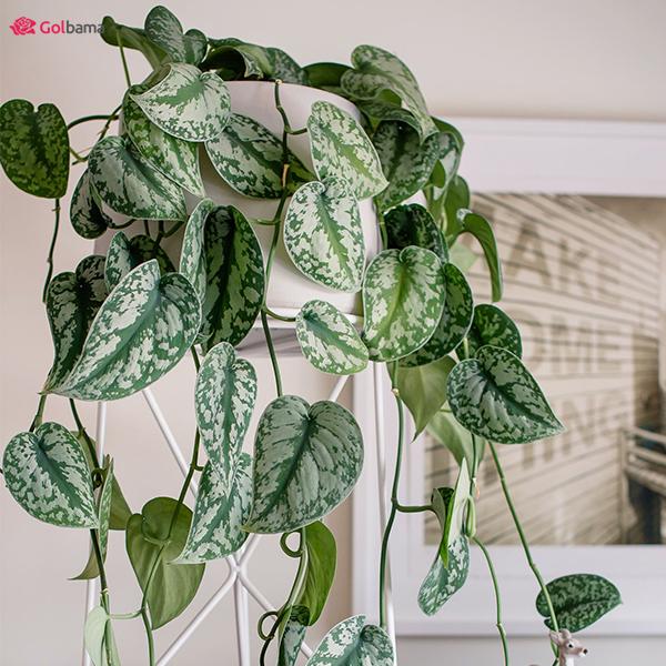 گیاهانِ آپارتمانیِ کم نور با نقش و نگارهای نقرهای: 7. گیاه پوتوس ابلق