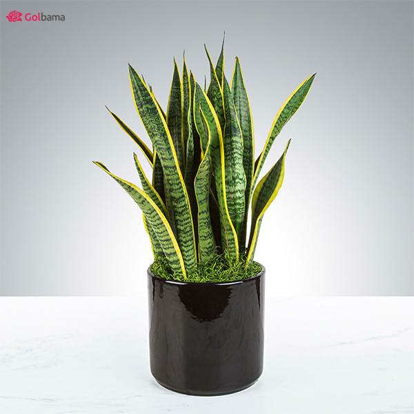 لاکچریترین نوع گیاهان آپارتمانی کم نور: 14. گیاه سانسوریا (Snake Plant)